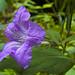 Carolina Wild Petunia 02