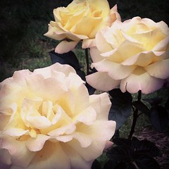 In just days, Peace has multiplied.  :). #peace #roses. I so needed to see this.