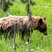 Small photo of Brown Bear