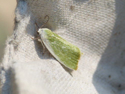 Cream-bordered Green Pea Earias clorana Tophill Low NR, East Yorkshire June 2014