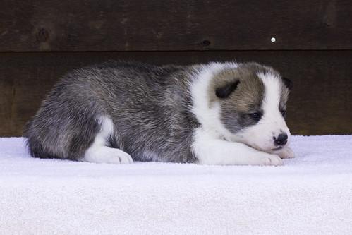 Anya-Litter1-20Days-Puppy4(Female)d