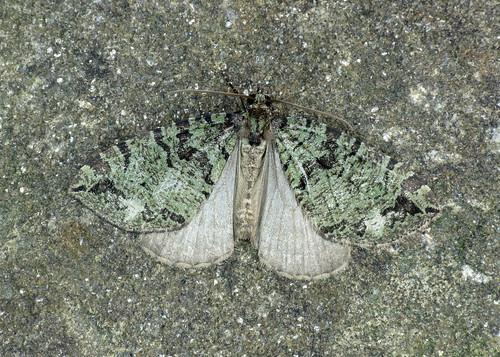 1777 July Highflyer - Hydriomena furcata