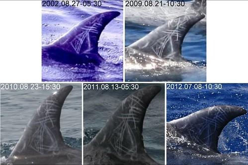 常出現在花東沿岸的「來」;圖片來源:黑潮海洋文教基金會