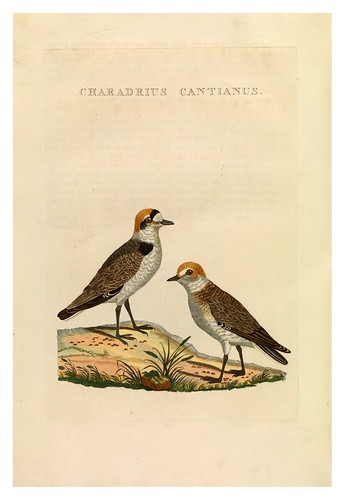 007-Chorlito patinegro- Nederlandsche vogelen- Nationale bibliotheek van Nederland