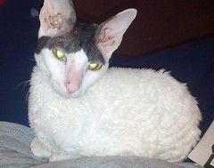 Kit, Rescue Cornish Rex in Michigan