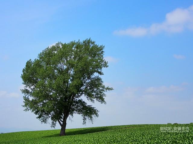 美瑛 哲學之木