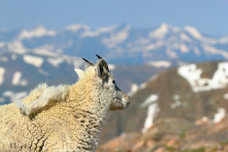 IMG_4536 Mountain Goat