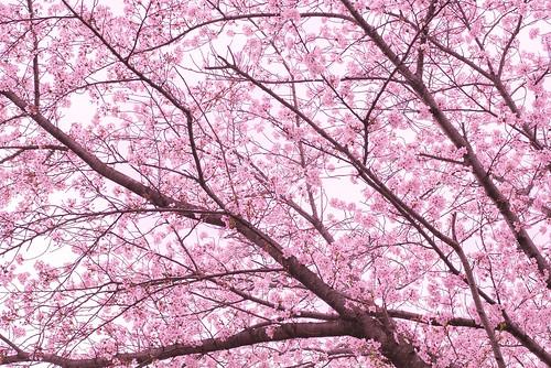[Explored] Sakura - cherry blossom - Panasonic GM1 & OLYMPUS M.ZUIKO DIGITAL 25mm F1.8