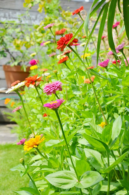 zinnia jungle in the backyard