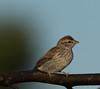 Chipping Sparrow in Streaks