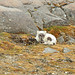 Arctic Fox (Bret Charman)