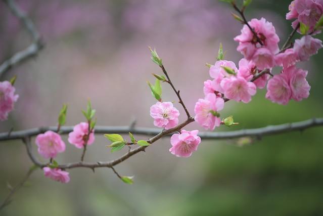 plum blossom 9