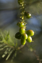 Persoonia sp.