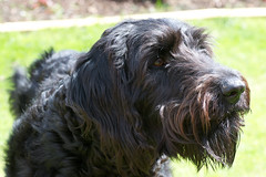 boykin spaniel(0.0), pumi(0.0), tibetan terrier(0.0), cesky terrier(0.0), bouvier des flandres(0.0), bergamasco shepherd(0.0), cã£o da serra de aires(0.0), blue picardy spaniel(0.0), portuguese water dog(0.0), wirehaired pointing griffon(1.0), dog breed(1.0), animal(1.0), cesky fousek(1.0), dog(1.0), schnoodle(1.0), otterhound(1.0), glen of imaal terrier(1.0), giant schnauzer(1.0), standard schnauzer(1.0), vulnerable native breeds(1.0), poodle crossbreed(1.0), schapendoes(1.0), irish wolfhound(1.0), black russian terrier(1.0), spinone italiano(1.0), catalan sheepdog(1.0), german wirehaired pointer(1.0), cockapoo(1.0), barbet(1.0), carnivoran(1.0),