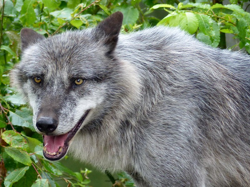 Timberwolf***Canis lupus lycaon***Timberwolve