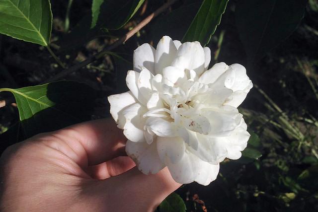 0814-whiterose