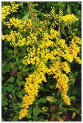 shrub, flower, yellow, plant, subshrub, herb, produce,