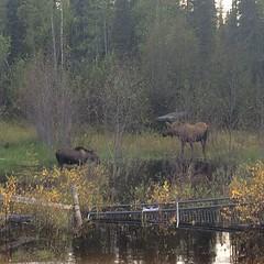 Mama moose and baby moose. <3