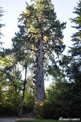 World Largest Sitka Spruce