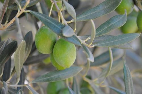 AionSur 15063281222_bd329a35b1_d Arranca el verdeo con una cosecha irregular que se adelanta al inicio de septiembre Medio Ambiente El Verdeo se adelanta
