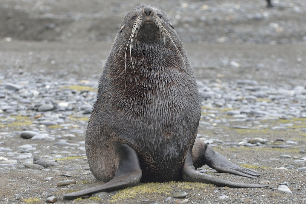 Antarctic Fur Seal3 Salisbury Plain So. Georgia 11:7:13