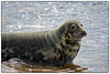 Male Grey Seal (Halichoerus Grypus)