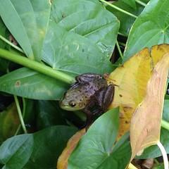 chameleon(0.0), animal(1.0), amphibian(1.0), leaf(1.0), reptile(1.0), fauna(1.0), plant pathology(1.0),