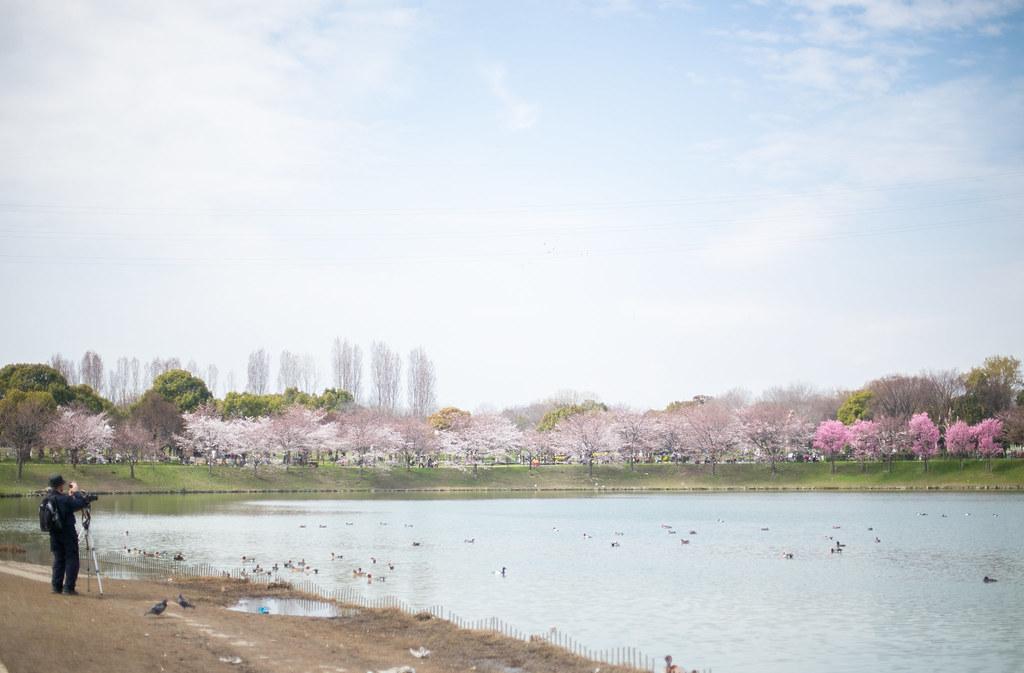 Tsurumi Ryokuchi Park Sakura