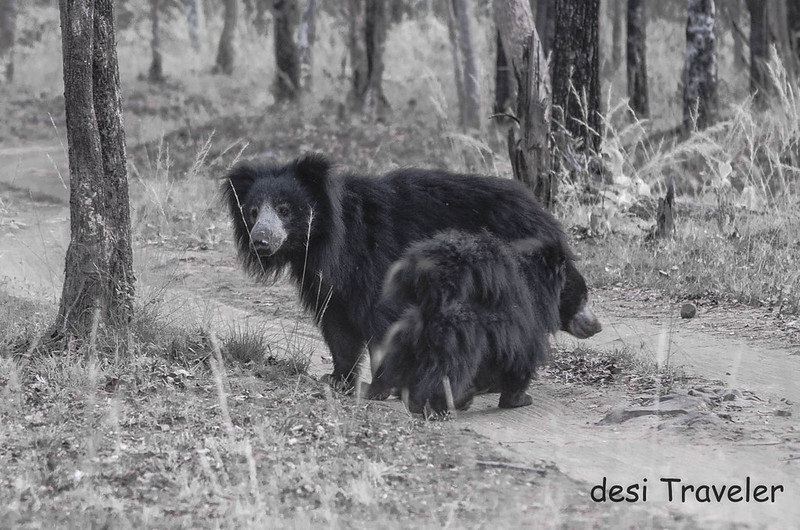 a mother bear with cub Satpura National Park