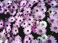 annual plant, flower, purple, marguerite daisy, daisy, macro photography, flora, daisy, petal,