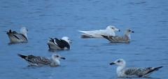 Glaucous Gull Larus hyperboreus Tophill Low NR, East Yorkshire February 2017