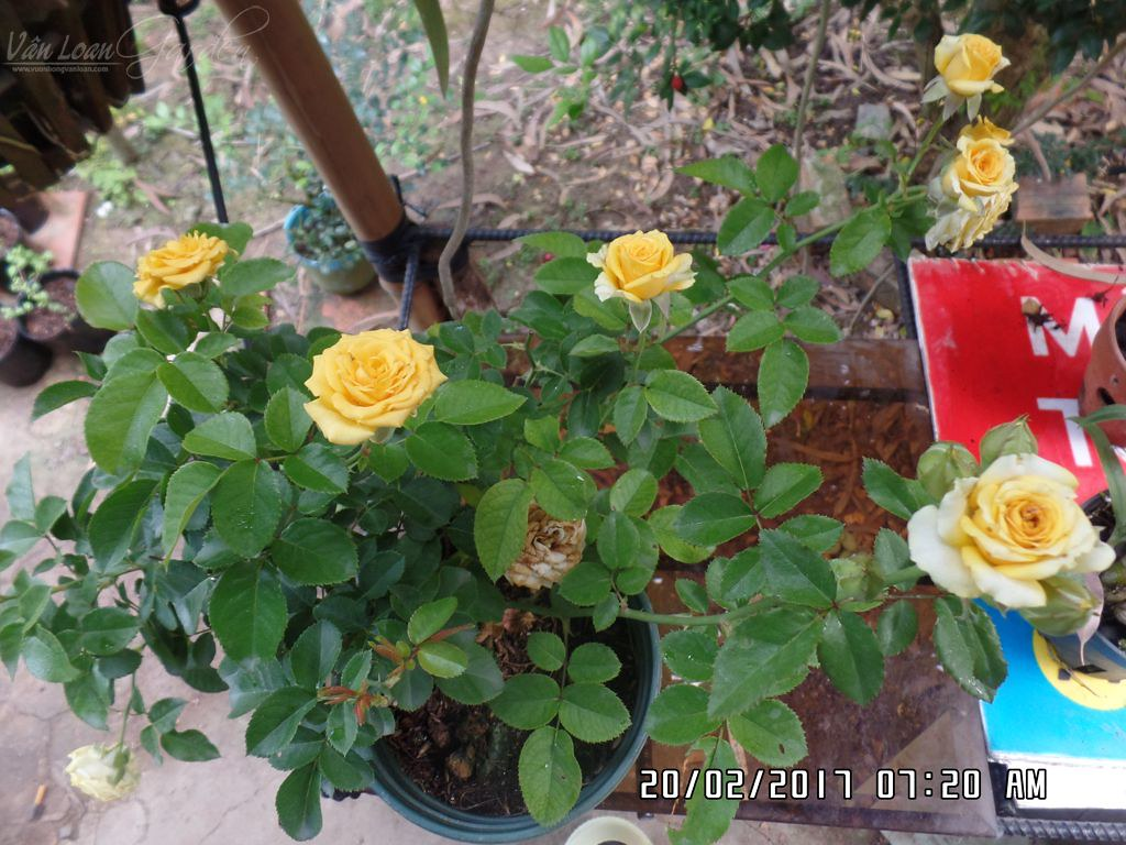 su dung xi than to ong de trong hoa hong (2)+vuonhongvanloan.com.JPG