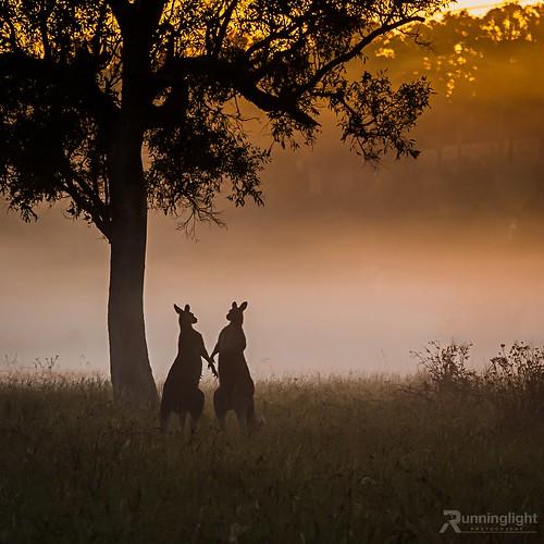 landscape australia kangaroo huntervalley pokolbin
