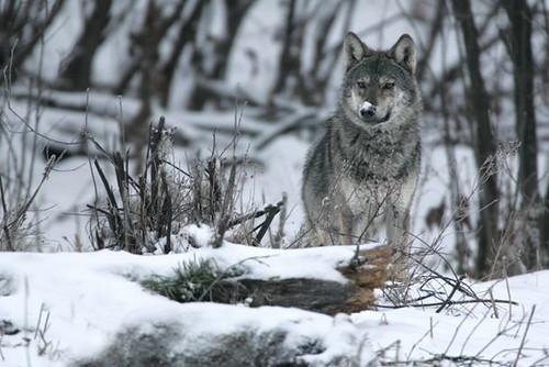 歐洲野狼(圖片來源:Rewilding Europe)