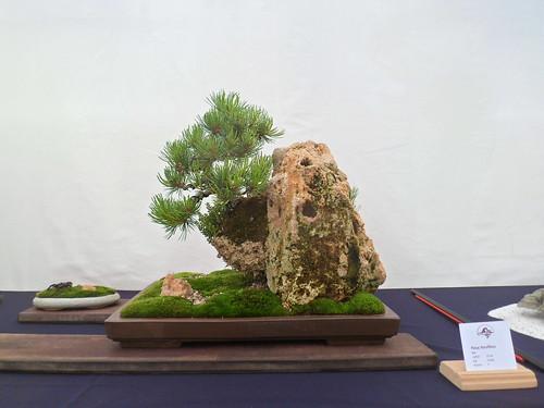 foto 12 een japanse witte den hangend aan een rots