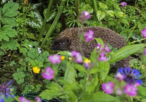 hedgehog 376  (7)
