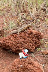 Safetygoat with male lava lizard
