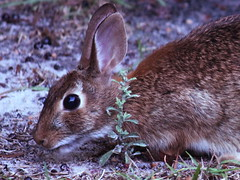 animal(1.0), hare(1.0), rabbit(1.0), domestic rabbit(1.0), pet(1.0), fauna(1.0), wood rabbit(1.0), whiskers(1.0), rabits and hares(1.0), wildlife(1.0),