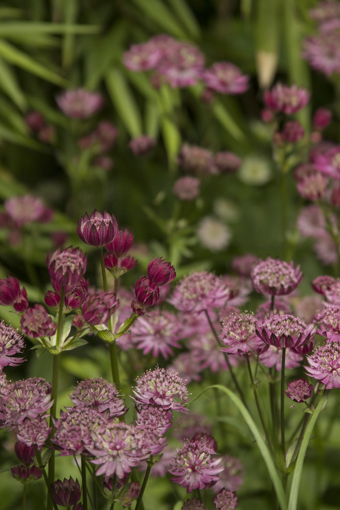 Astrantia Star of Fire 2