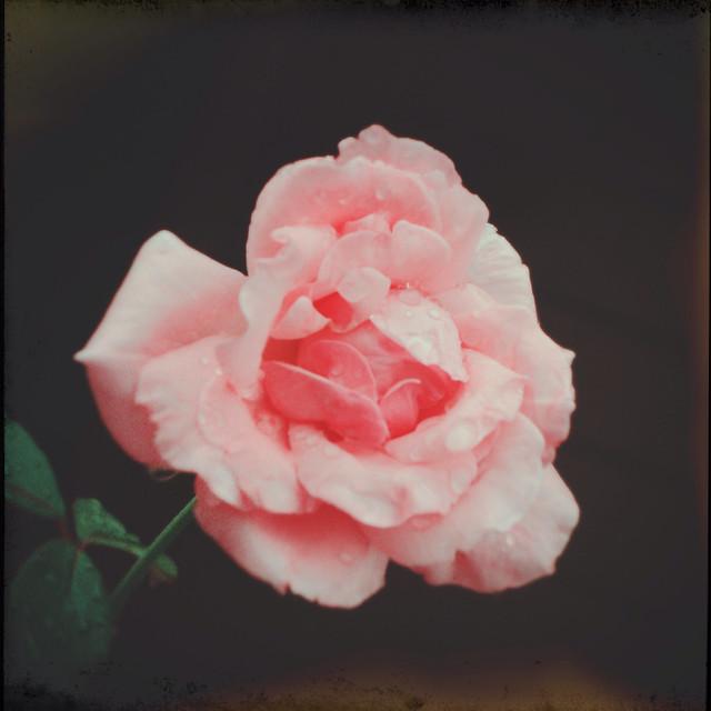 Wet Camellia