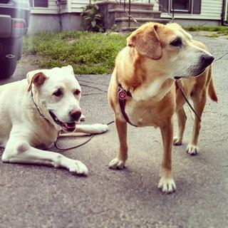 Oldest & Youngest... Happy Dogs! #dogstagram #instadog #siblings #ilovemydogs #houndmix #labmix #mutt #ilovebigmutts #seniordog #ilovemyseniordog
