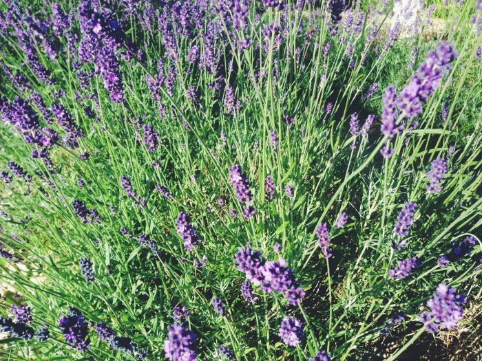 lavendar-capturing-colour-purple