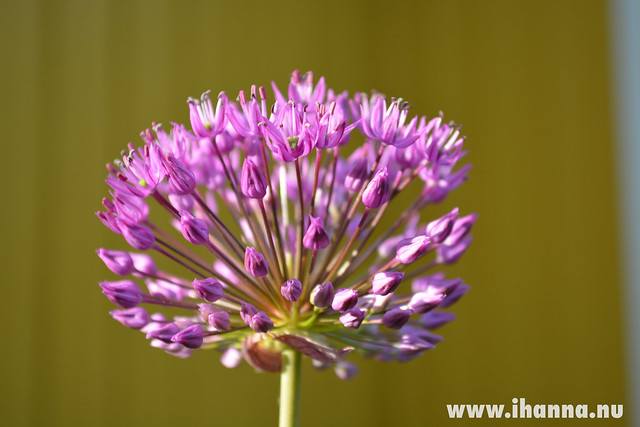 Onion flower #pinkflowermission photos by iHanna