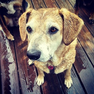 Just gave all 4 dogs a bath outside... Which means I got one too! Sophie's turn #notsohappydog #bathtime #rescued #houndmix #instadog #dogstagram #ilovemydogs #toocute