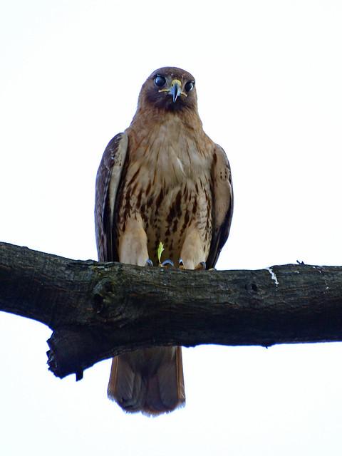 Cathedral Hawk - 3700