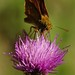 Butterfly on a thistle by robert hextall