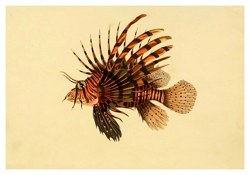 001- Scorpaena Volitans-A selection … the fishes …of Ceylon-1834 John B. Whitchurch