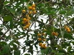 shrub(0.0), citrus(0.0), flower(0.0), strawberry tree(0.0), hippophae(0.0), yuzu(0.0), produce(0.0), food(0.0), loquat(0.0), bitter orange(0.0), evergreen(1.0), tree(1.0), plant(1.0), fruit(1.0),