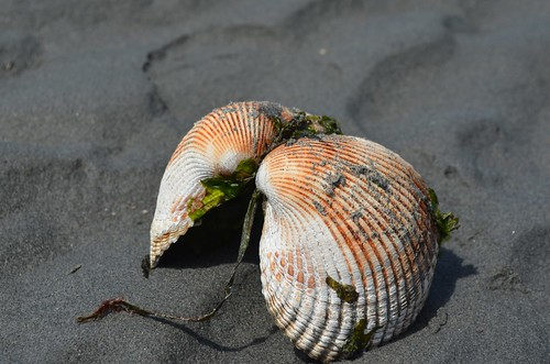 clam shell with seaweed