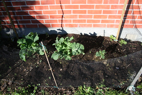 Garden Bed, House North - 2014-06-30 - Elephant Garlic, Kale, Cauliflower